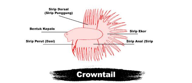 Kriteria Penilaian Kontes Ikan Cupang Crowntail