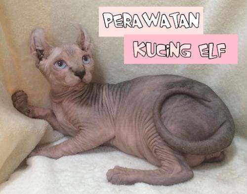 Perawatan Kucing ELF