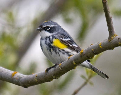 Photo of Yellow-rumped Warbler on branch