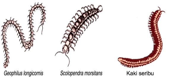 Ciri-Ciri dan Contoh Hewan Kelas Myriapoda