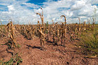 A drought-affected corn field in Texas in 2013. (Credit: Bob Nichols / USDA) Click to Enlarge.
