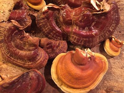Ganoderma Mushroom Supplier in Kiribati