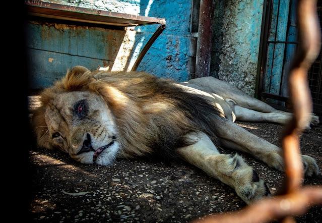 Зоопарк, в котором животным не место: пользователи сети обеспокоены состоянием львов