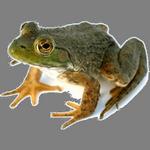 frog in spanish