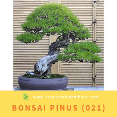 Bonsai Pinus (021)