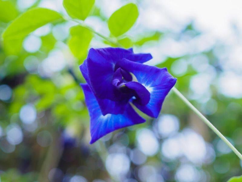 sekuntum bunga telang