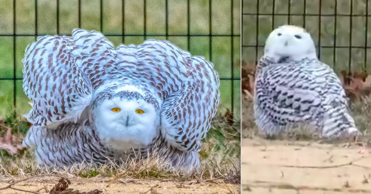 Snowy Owl Spotted In New York's Central Park For The First Time In 130 Years