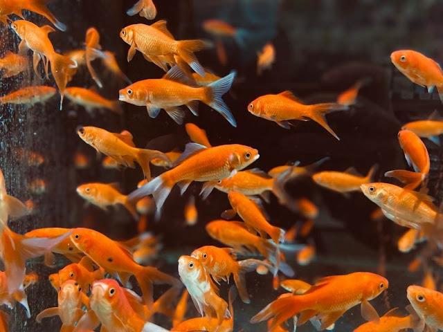Ingredients of Steamed Goldfish