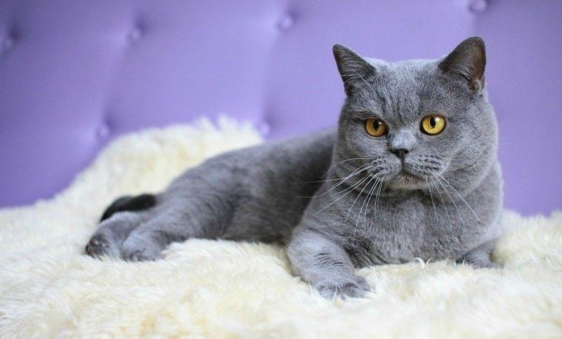 Γάτα Ρώσικη μπλε
