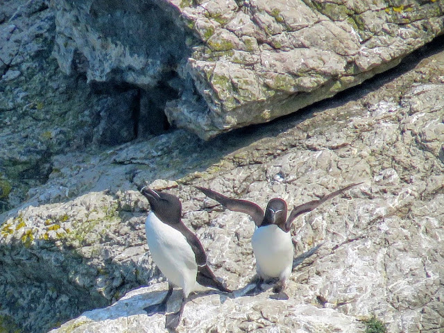 Day trip to Ireland's Eye Island - razorbills on a rock