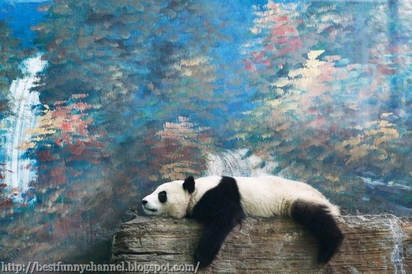 Panda is resting after a meal.
