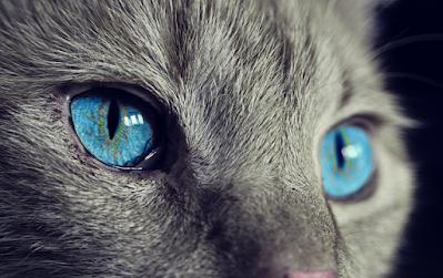خلفيات موبايل قطة بعيون زرقاء