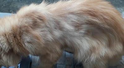 Kucing Jamuran