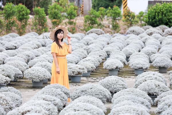 彰化田尾波波草建華芙蓉園,白色芙蓉雪球花海就像銀白雪景好夢幻