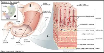 Anatomi lambung, Histologi Lambung, apisan mukosa lambung, Lapisan sub mukosa lambung, Lapisan muskularis lambung, Lapisan serosa lambung, Ketahanan Mukosa Lambung, Mukus dan bikarbonat (mucous barrier), Resistensi mukosa (mucosal resistance barrier), Prostaglandin dan beberapa faktor pertumbuhan, Proses Kerusakan Mukosa Lambung yang disebabkan OAINS