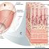 Anatomi Histologi Lambung, Ketahanan Mukosa Lambung dan Kerusakan Lambung