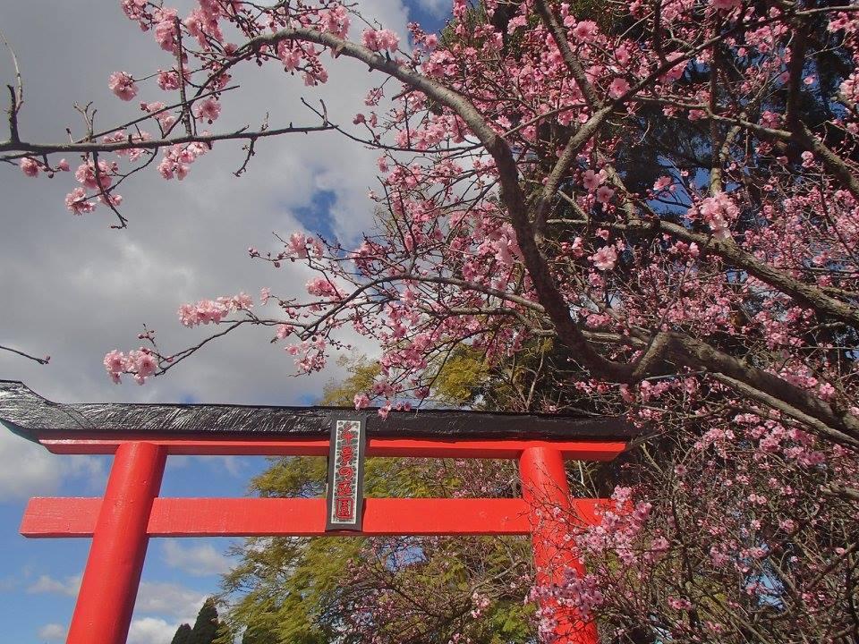 Festival bunga sakura di Sydney