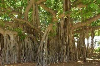 वट का पेड़
