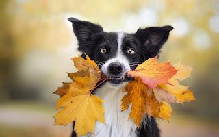 расивые картинки про собак и осень для настроения...