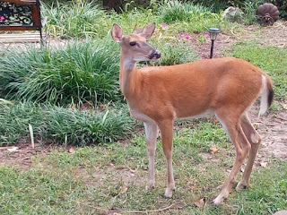 Photo of Deer by Yard and Garden Secrets