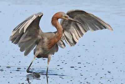 Photo of wading Reddish Egret