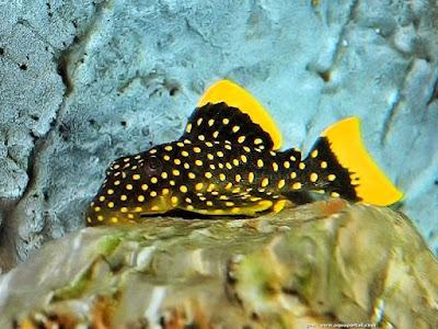 Ikan Sapu-Sapu Baryancistrus sp ( Golden Nugget Pleco )