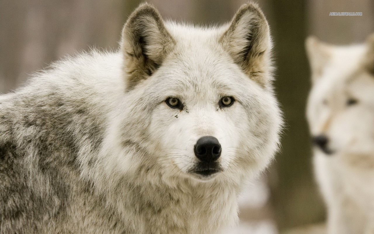 Wild Animal Wolf Wallpapers Hd 51074 Wallpaper: HD Wolf Pictures Wolf Wallpapers