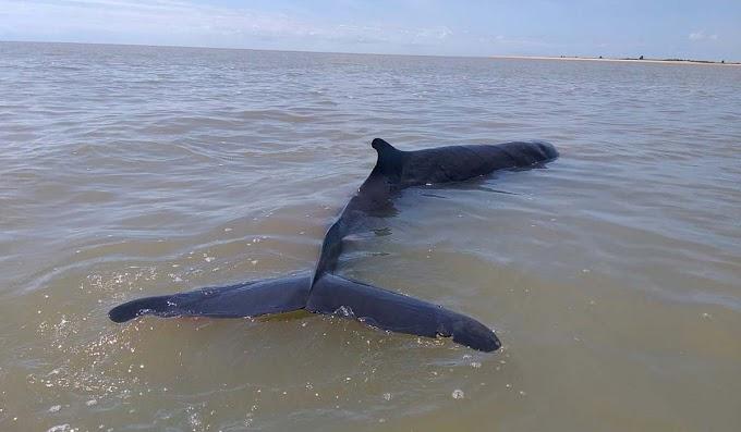 Baleia cachalote-anão encalha e morre em praia no sul da Bahia