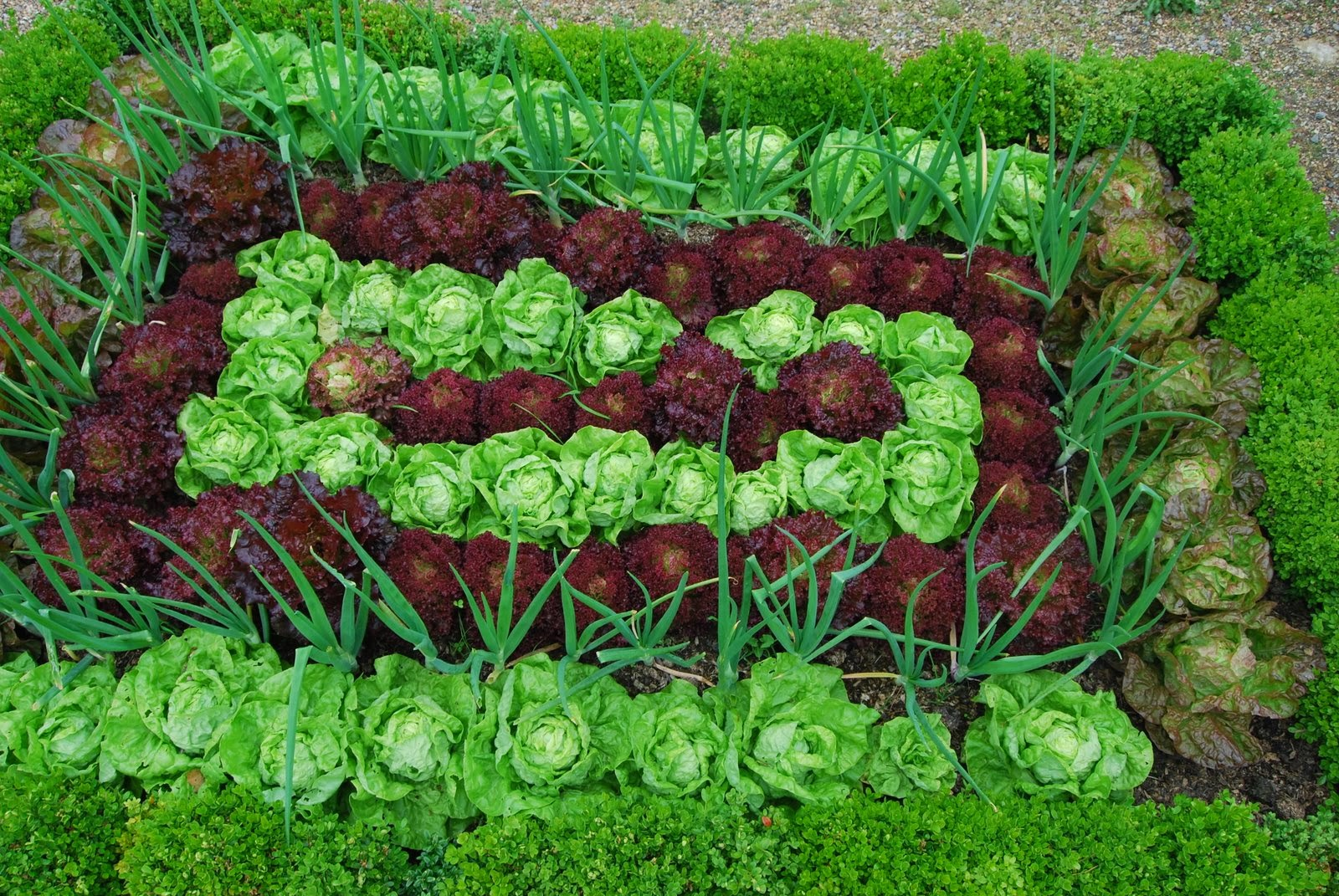 Ornamental salad patch with purple and green lettuce and onions