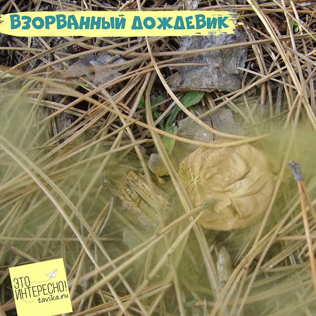Гриб пылевик, Крым