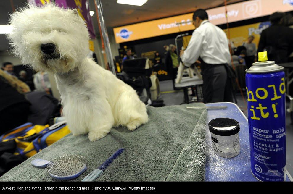 Banco De Imagenes Gratuitas 135th Westminster Kennel Club Dog Show En New York