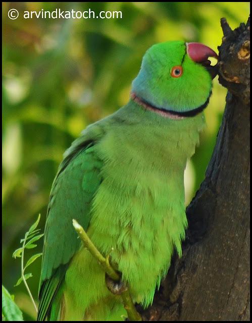 Close up, rose ringed, parakeet,