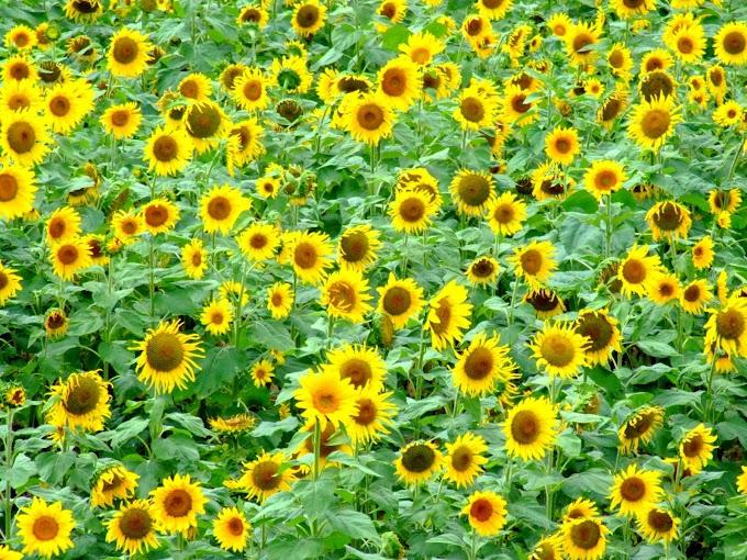 178 #ヒマワリ #花 #向日葵 #黄色