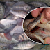 The Danger of Eating Tilapia. Stop Eating This Before Its Too Late