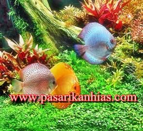 Cara Budidaya Ikan Hias Air Tawar Dan Laut
