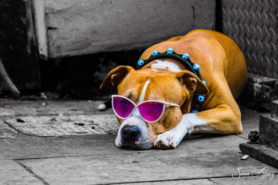 30 Sweet Photos of Dogs in Sunglasses