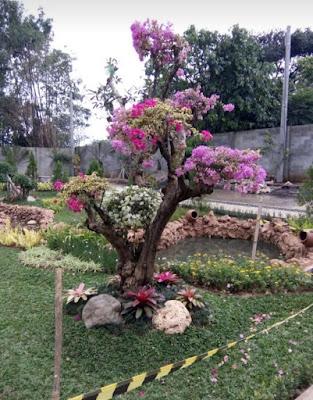 Jual Bonsai Bougenvil - Tukang Rumput Bogor
