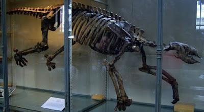 skeleton of Thalassocnus in a museum case