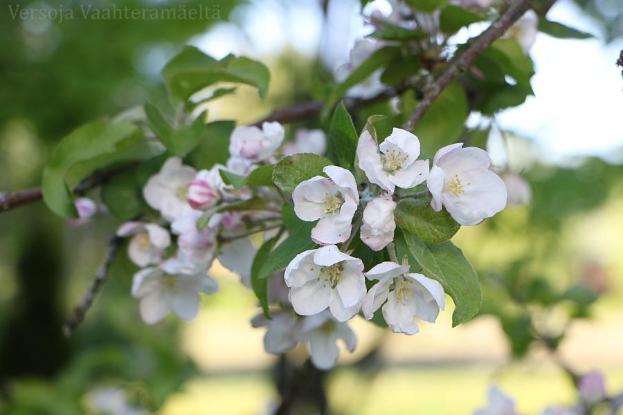 Onni on oma omenapuu