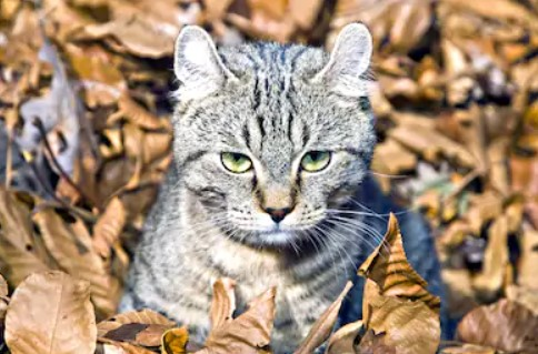 Highlander cat - all you want to know about highlander cats