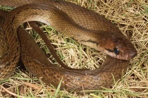 gambar reptil ular tikus