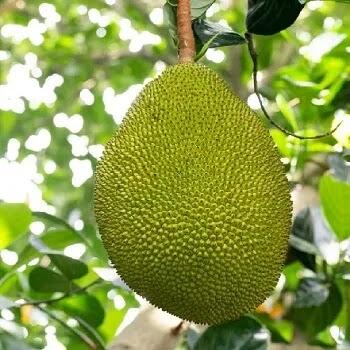 फणस, Jackfruit fruits name in Marathi