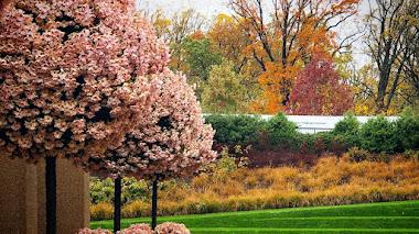 El valor de los crisantemos cultivados en Longwood Gardens