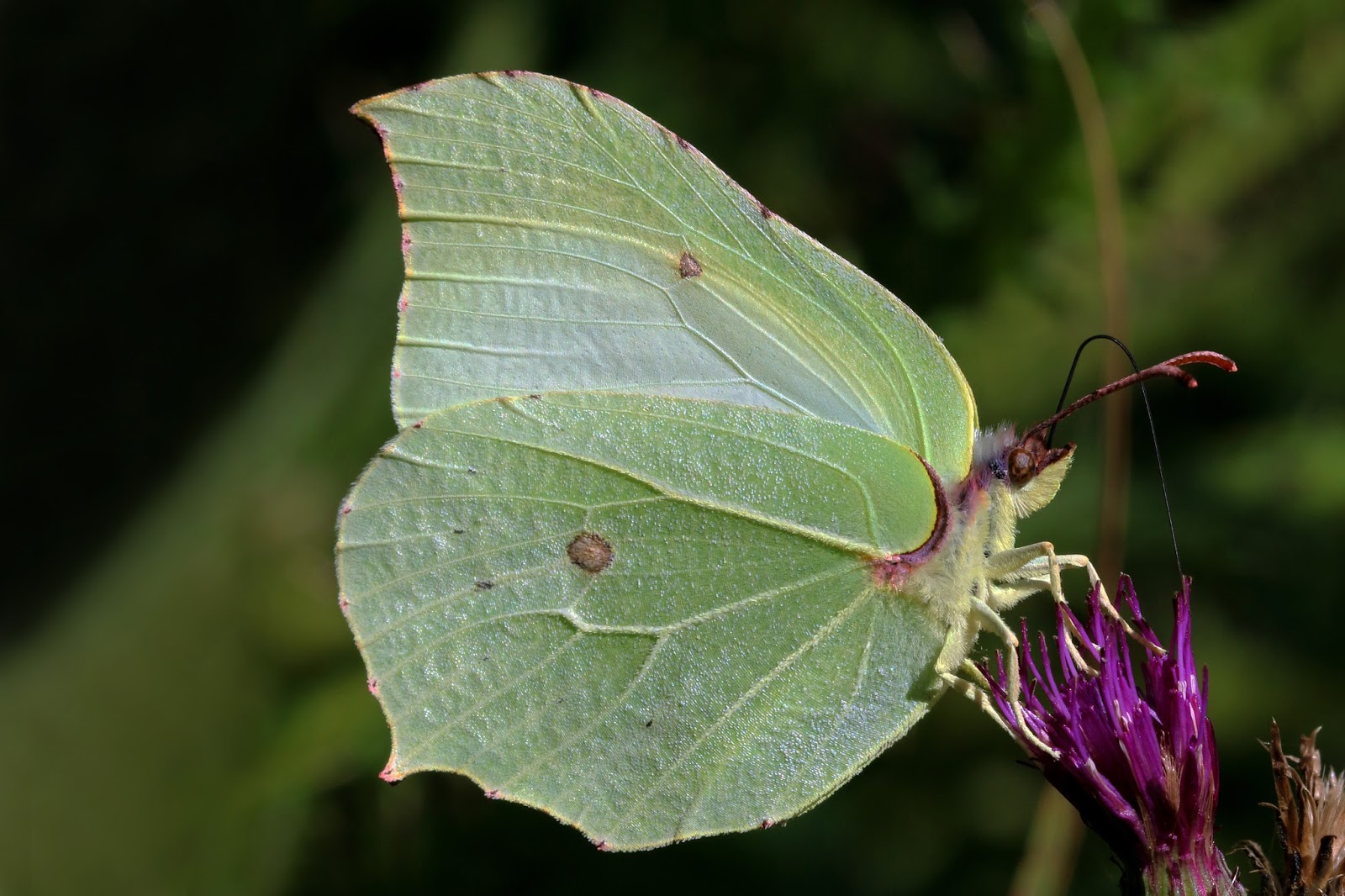 Insects: Common brimstone butterfly (Gonepteryx rhamni) male