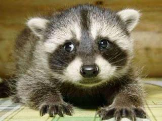 Resultado de imagen de mapaches graciosos