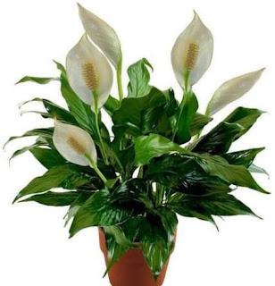 peace lily atau spathiphyllum lili