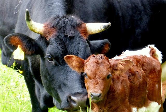 Was bedeutet «Fleisch aus Gras»?  Urs Vogt über Natura-Beef-Bio und die Mutterkuhhaltung
