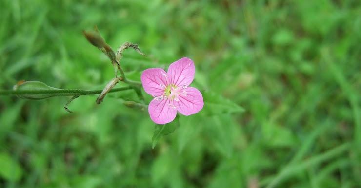 ピンクの小さな野花一輪ユウゲショウ
