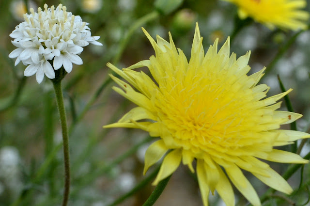 pincushion and dandelion