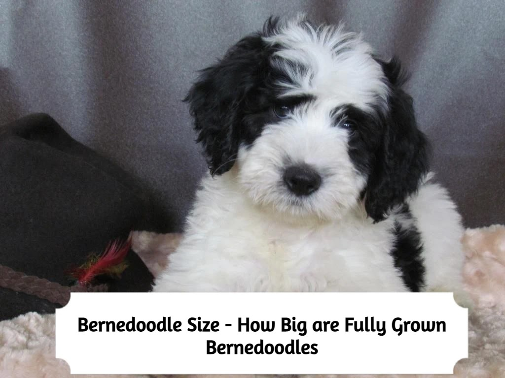 Bernedoodle-Size-full-grown